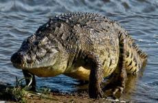 تمساح.jpg