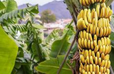 الموز - موز.jpg