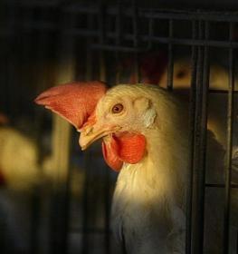 دجاجة.jpg