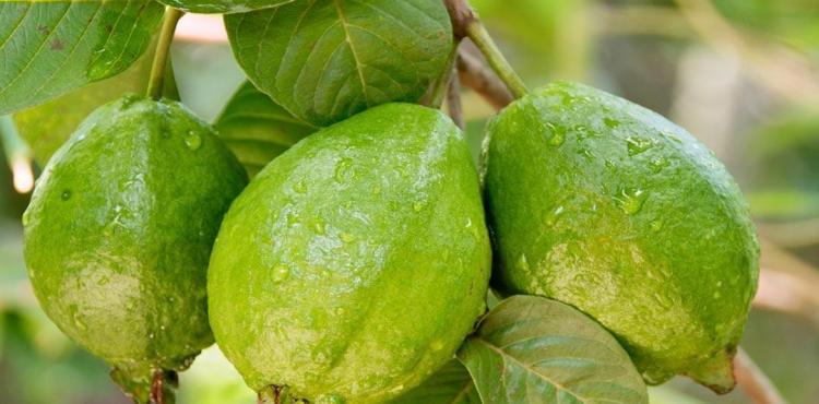فوائد الجوافة.jpg