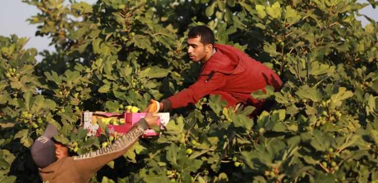 موسم قطف التين في مدينة غزة