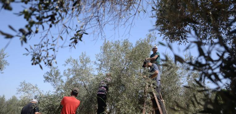 بدء موسم قطف الزيتون في مدينة غزة
